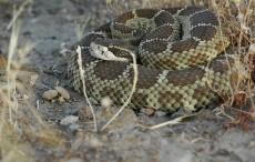 rattlesnake_maricopa_az